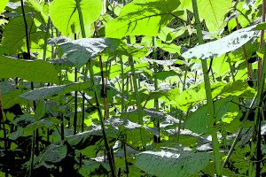 Selling up? Don't let knotweed ruin your chances